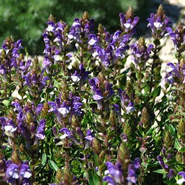 bajkalina, roślina, scutellaria baicalensis